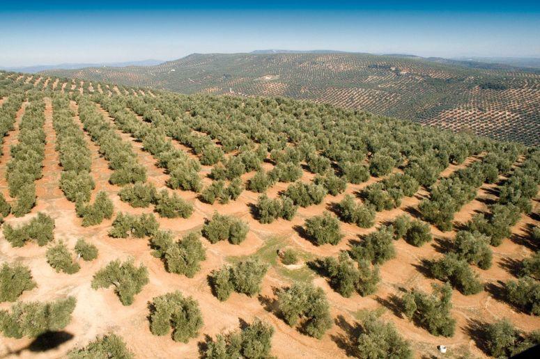 precio-hectarea-olivar-1